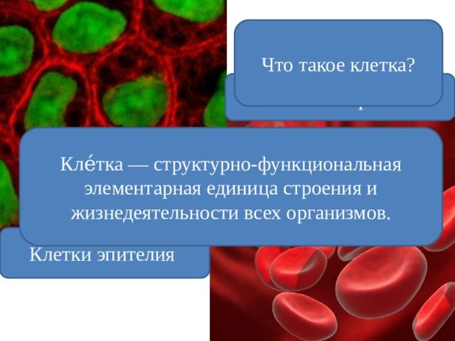 Какие клетки изображены на слайде? Что такое клетка? Клетки крови Кле́тка — структурно-функциональная элементарная единица строения и жизнедеятельности всех организмов. Клетки эпителия