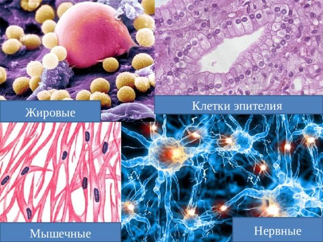 Клетки эпителия Жировые Нервные Мышечные