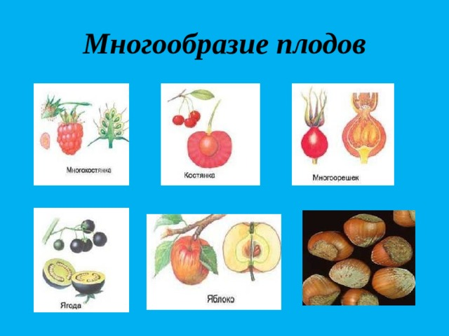 Многообразие плодов