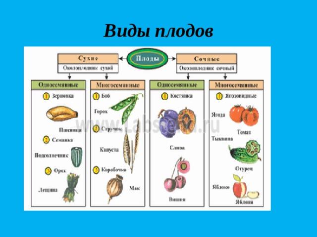 Виды плодов