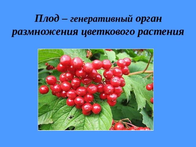 Плод – генеративный орган размножения цветкового растения