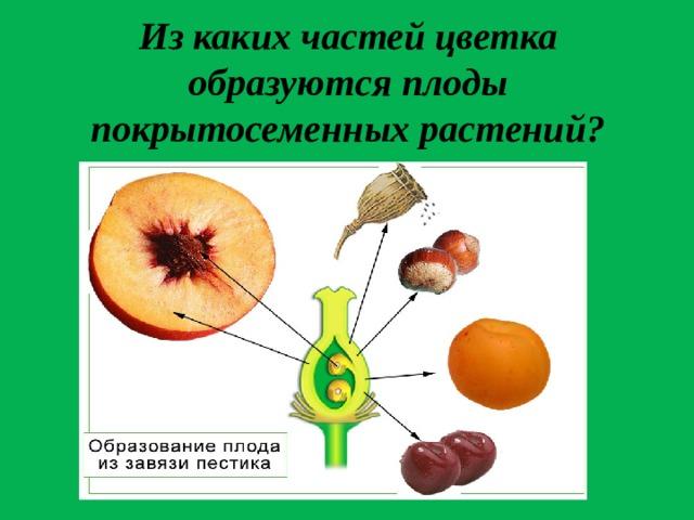 Из каких частей цветка образуются плоды покрытосеменных растений?