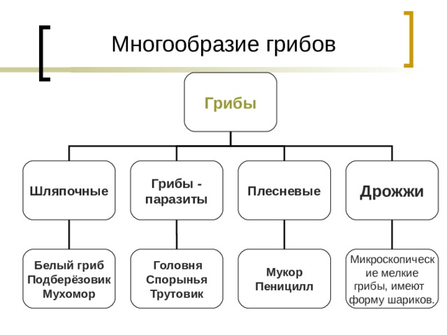 Многообразие грибов Грибы Шляпочные Грибы - паразиты Плесневые Дрожжи  Головня Спорынья Трутовик Белый гриб Подберёзовик Мухомор Мукор Пеницилл