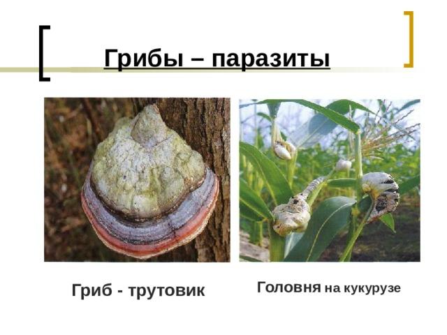 Грибы – паразиты   Головня на кукурузе Гриб - трутовик