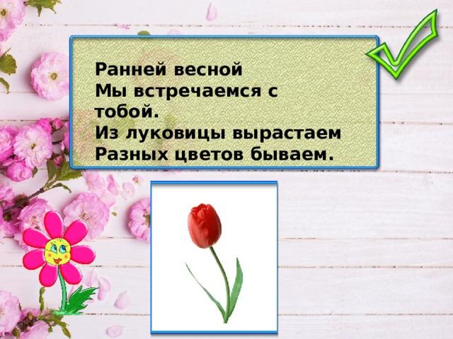 Ранней весной Мы встречаемся с тобой. Из луковицы вырастаем Разных цветов бываем.