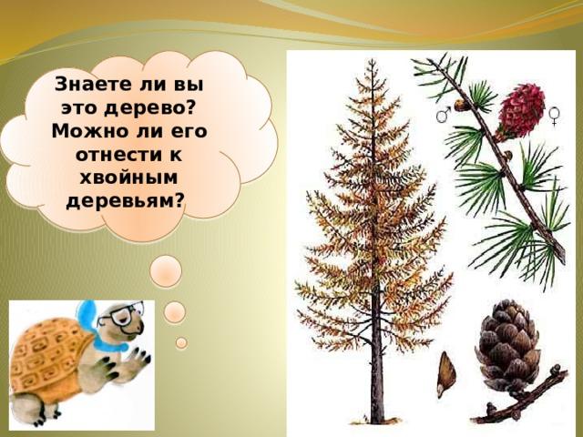 Знаете ли вы это дерево? Можно ли его отнести к хвойным деревьям?