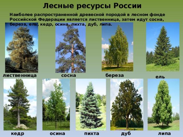 Лесные ресурсы России Наиболее распространенной древесной породой в лесном фонде Российской Федерации является лиственница, затем идут сосна, береза, ель, кедр, осина, пихта, дуб, липа. сосна лиственница береза ель кедр осина пихта дуб липа