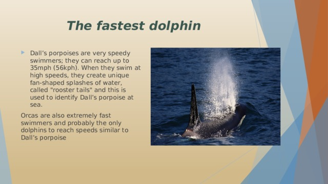 The fastest dolphin Dall's porpoises are very speedy swimmers; they can reach up to 35mph (56kph). When they swim at high speeds, they create unique fan-shaped splashes of water, called