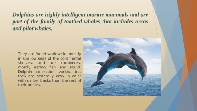 Dolphins are highly intelligent marine mammals and are part of the family of toothed whales that includes orcas and pilot whales.