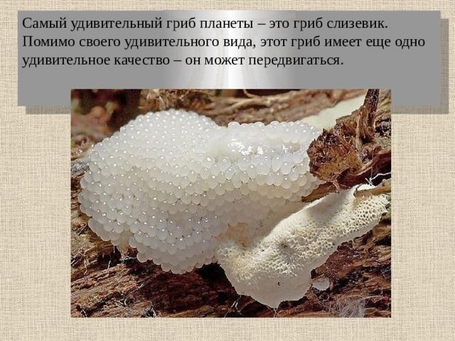 Самый удивительный гриб планеты – это гриб слизевик. Помимо своего удивительного вида, этот гриб имеет еще одно удивительное качество – он может передвигаться.