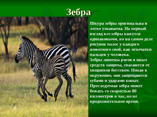 Зебра Шкура зебры оригинальна и легко узнаваема. На первый взгляд все зебры кажутся одинаковыми, но на самом деле рисунок полос у каждого животного свой, как отпечатки пальцев у человека. Зебры лишены рогов и иных средств защиты, спасаются от хищников бегством. Попав в окружение, они защищаются зубами и ударами копыт. Преследуемая зебра может бежать со скоростью 80 километров в час, но не продолжительное время.