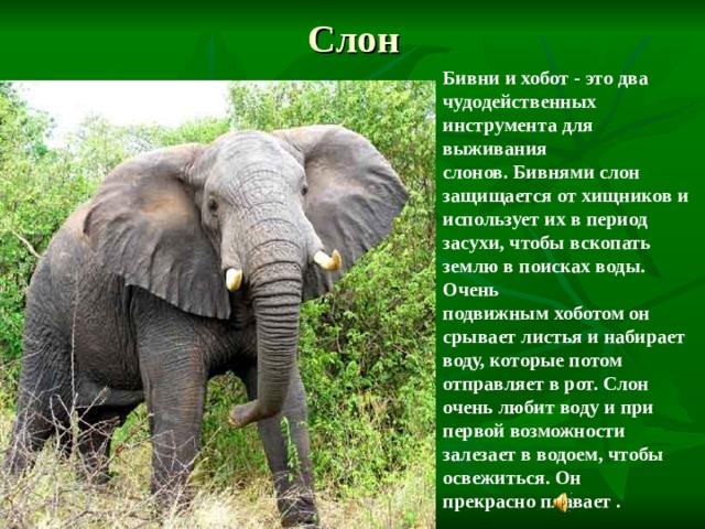 Слон Бивни и хобот- это два чудодейственных инструмента для выживания слонов.Бивнямислон защищается от хищников и использует их в период засухи, чтобы вскопать землю в поисках воды. Очень подвижнымхоботомон срывает листья и набирает воду, которые потом отправляет в рот. Слон очень любит воду и при первой возможности залезает в водоем, чтобы освежиться. Он прекрасноплавает.  Он трубит, но.