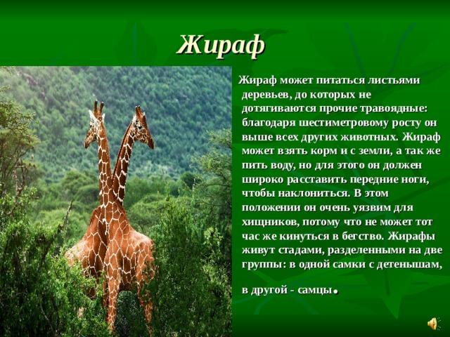Жираф   Жираф может питаться листьями деревьев, до которых не дотягиваются прочие травоядные: благодаряшестиметровому ростуон выше всех других животных. Жираф может взять корм и с земли, а так же пить воду, но для этого он должен широко расставить передние ноги, чтобы наклониться. В этом положении он очень уязвим для хищников, потому что не может тот час же кинуться в бегство. Жирафы живут стадами, разделенными на две группы: в одной самки с детенышам, в другой - самцы .