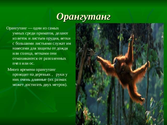 Орангутанг Орангутанг — одни из самых умных среди приматов, делают из веток и листьев орудия, ветки с большими листьями служат им навесами для защиты от дождя или солнца, ветками они отмахиваются от разозленных пчел или ос.  Много времени орангутанг проводят на деревьях , руки у них очень длинные (их размах может достигать двух метров).
