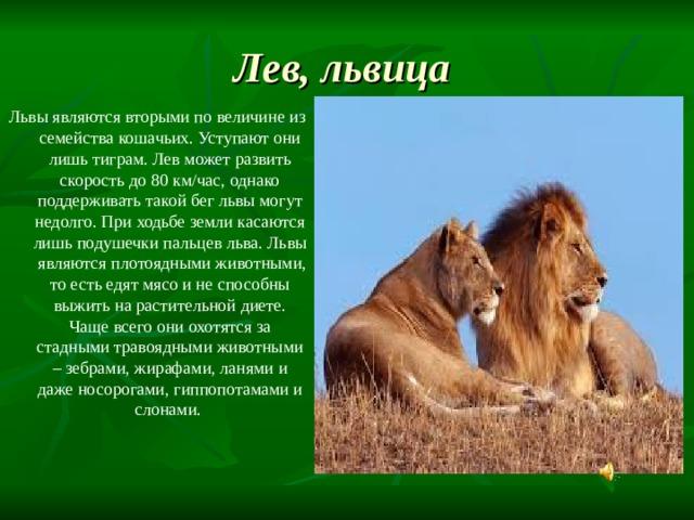 Лев, львица  Львы являются вторыми по величине из семейства кошачьих. Уступают они лишь тиграм. Лев может развить скорость до 80 км/час, однако поддерживать такой бег львы могут недолго. При ходьбе земли касаются лишь подушечки пальцев льва. Львы являются плотоядными животными, то есть едят мясо и не способны выжить на растительной диете. Чаще всего они охотятся за стадными травоядными животными – зебрами, жирафами, ланями и даже носорогами, гиппопотамами и слонами.