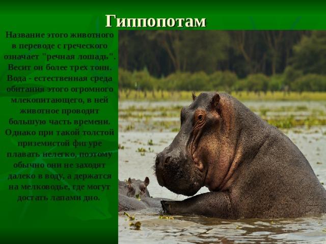 Гиппопотам Название этого животного в переводе с греческого означает