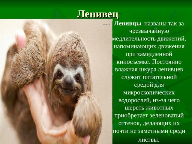 Ленивец Ленивцы названы так за чрезвычайную медлительность движений, напоминающих движения при замедленной киносъемке. Постоянно влажная шкура ленивцев служит питательной средой для микроскопических водорослей, из-за чего шерсть животных приобретает зеленоватый оттенок, делающих их почти не заметными среди листвы .