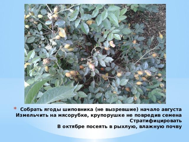 Собрать ягоды шиповника (не вызревшие) начало августа  Измельчить на мясорубке, крупорушке не повредив семена  Стратифицировать  В октябре посеять в рыхлую, влажную почву