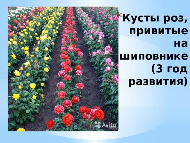 Кусты роз, привитые на шиповнике  (3 год развития)