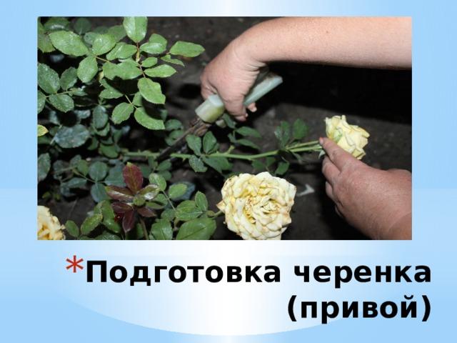 Подготовка черенка (привой)