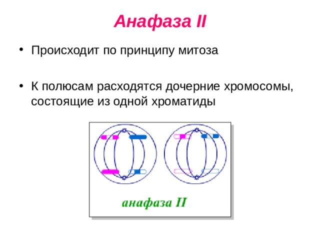 Анафаза II