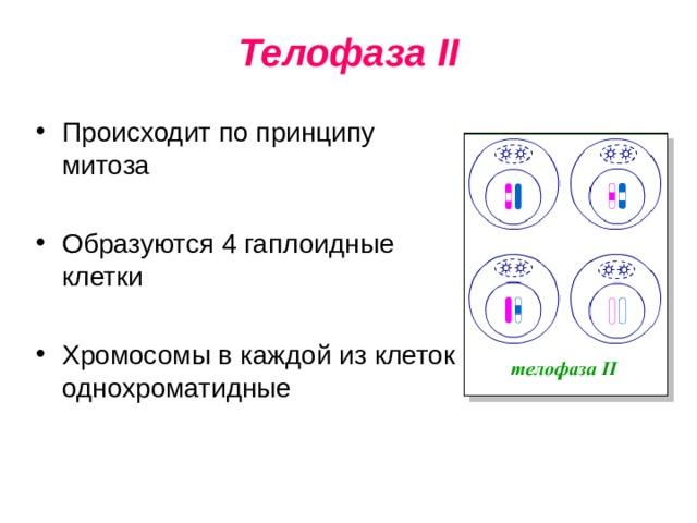 Телофаза II
