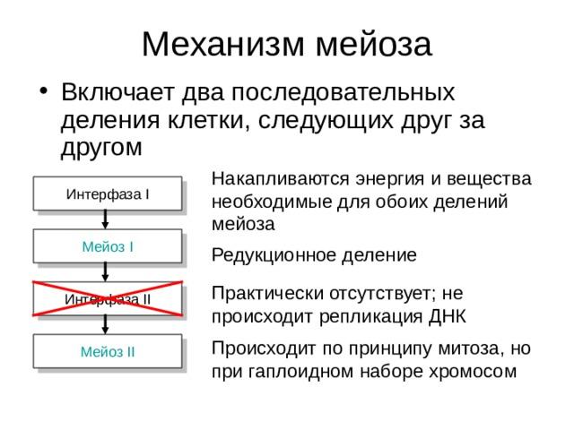 Накапливаются энергия и вещества необходимые для обоих делений мейоза Интерфаза I Мейоз I Редукционное деление Практически отсутствует; не происходит репликация ДНК Интерфаза II Происходит по принципу митоза, но при гаплоидном наборе хромосом Мейоз II