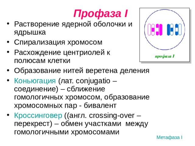 Профаза I Растворение ядерной оболочки и ядрышка Спирализация хромосом Расхождение центриолей к полюсам клетки Образование нитей веретена деления Коньюгация  (лат.  с onjugatio – соединение) – сближение гомологичных хромосом, образование хромосомных пар - бивалент Кроссинговер ((англ. crossing-over – перекрест) – обмен участками между гомологичными хромосомами Метафаза I