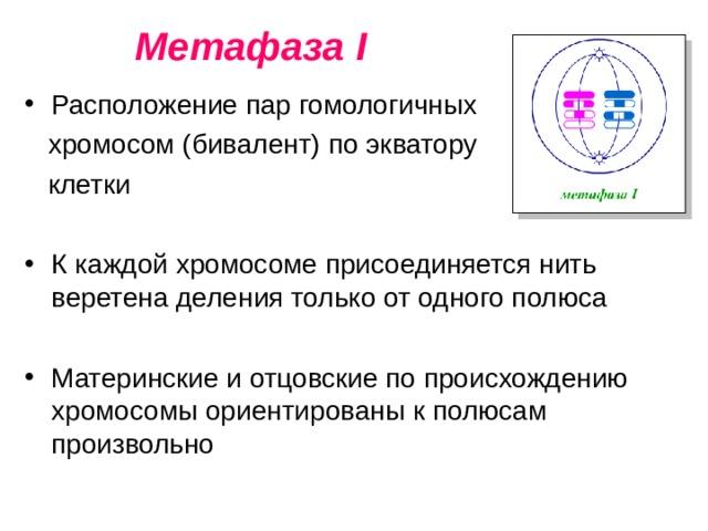 Метафаза I Расположение пар гомологичных  хромосом (бивалент) по экватору  клетки