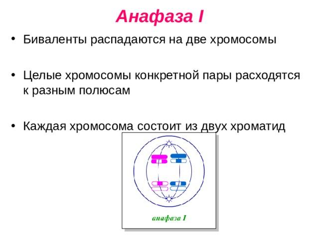 Анафаза I