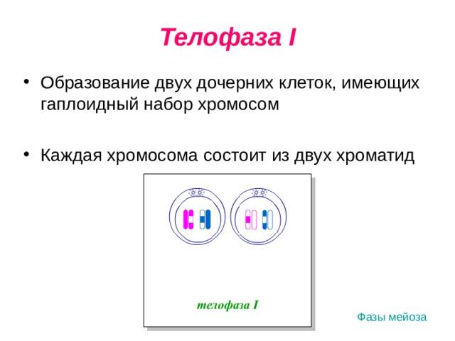 Телофаза I Образование двух дочерних клеток, имеющих гаплоидный набор хромосом Каждая хромосома состоит из двух хроматид Фазы мейоза