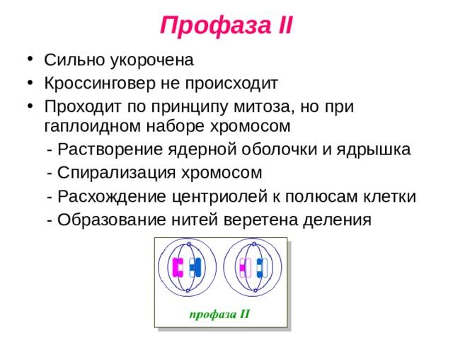 Профаза II Сильно укорочена Кроссинговер не происходит Проходит по принципу митоза, но при гаплоидном наборе хромосом  - Растворение ядерной оболочки и ядрышка  - Спирализация хромосом  - Расхождение центриолей к полюсам клетки  - Образование нитей веретена деления