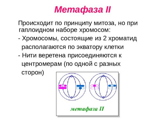 Метафаза II  Происходит по принципу митоза, но при гаплоидном наборе хромосом:  - Хромосомы, состоящие из 2 хроматид  располагаются по экватору клетки  - Нити веретена присоединяются к  центромерам (по одной с разных  сторон)