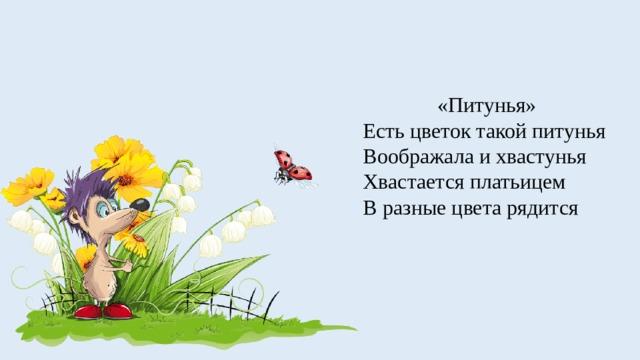 «Питунья» Есть цветок такой питунья Воображала и хвастунья Хвастается платьицем В разные цвета рядится