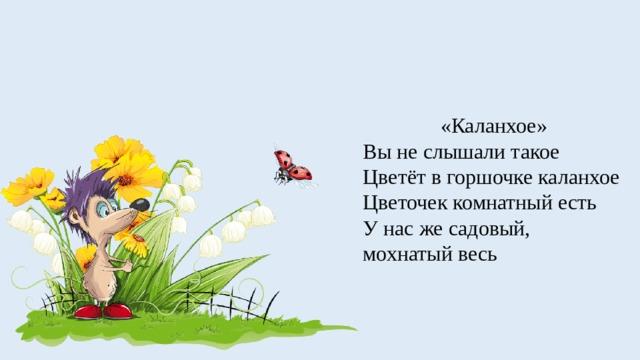 «Каланхое» Вы не слышали такое Цветёт в горшочке каланхое Цветочек комнатный есть У нас же садовый, мохнатый весь
