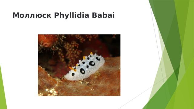 Моллюск Phyllidia Babai