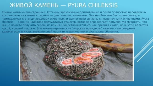 """Живой камень — Pyura chilensis Живые камни очень странные. Хотя они чрезвычайно примитивные и почти полностью неподвижны, эти похожие на камень создания — фактически, животные. Они не обычные беспозвоночные, а принадлежат к отряду хордовых животных, и фактически связаны с позвоночными животными. Pyura chilensis — одно из наиболее причудливых существ, которое опровергает популярную мудрость, что Вы не можете получить """"кровь из камня. Существо выглядит, как древняя скала, но внутри является яркой, красной плотью. Эти южноамериканские """"морские помидоры"""" являются популярным деликатесом в Чили, значительной части их ограниченного диапазона обитания."""