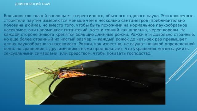 Длиннорогий ткач Большинство ткачей воплощает стереотипного, обычного садового паука. Эти крошечные строители паутин измеряются меньше чем в несколько сантиметров (приблизительно половина дюйма), но вместо того, чтобы быть похожими на нормальное паукообразное насекомое, они напоминают гигантский, хотя и тонкий как шпилька, череп коровы. На каждой стороне живота крепятся большие длинные рожки. Рожки эти довольно странные, но еще более странный их чистый размер — каждый рожок до четырех раз превышает длину паукообразного насекомого. Рожки, как известно, не служат никакой определенной цели, но сравнение с другими животными предполагает, что украшения могли служить сексуальными символами, или средством, чтобы показать господство.