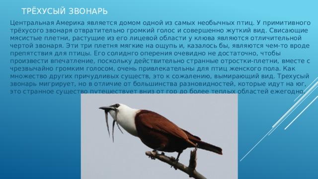 Трёхусый звонарь Центральная Америка является домом одной из самых необычных птиц. У примитивного трёхусого звонаря отвратительно громкий голос и совершенно жуткий вид. Свисающие мясистые плетни, растущие из его лицевой области у клюва являются отличительной чертой звонаря. Эти три плетня мягкие на ощупь и, казалось бы, являются чем-то вроде препятствия для птицы. Его солиднго оперения очевидно не достаточно, чтобы произвести впечатление, поскольку действительно странные отростки-плетни, вместе с чрезвычайно громким голосом, очень привлекательны для птиц женского пола. Как множество других причудливых существ, это к сожалению, вымирающий вид. Трехусый звонарь мигрирует, но в отличие от большинства разновидностей, которые идут на юг, это странное существо путешествует вниз от гор до более теплых областей ежегодно.