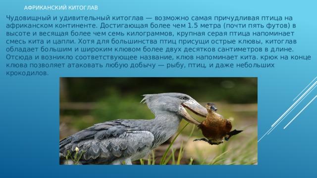 Африканский Китоглав Чудовищный и удивительный китоглав — возможно самая причудливая птица на африканском континенте. Достигающая более чем 1.5 метра (почти пять футов) в высоте и весящая более чем семь килограммов, крупная серая птица напоминает смесь кита и цапли. Хотя для большинства птиц присущи острые клювы, китоглав обладает большим и широким клювом более двух десятков сантиметров в длине. Отсюда и возникло соответствующее название, клюв напоминает кита. крюк на конце клюва позволяет атаковать любую добычу — рыбу, птиц, и даже небольших крокодилов.