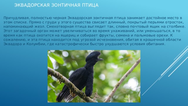 Эквадорская зонтичная птица Причудливая, полностью черная Эквадорская зонтичная птица занимает достойное место в этом списке. Прямо с груди у этого существа свисает длинный, покрытый перьями отросток, напоминающий жезл. Смехотворная птица выглядит так, словно почтовый ящик на столбике. Этот загадочный орган может увеличиваться во время ухаживаний, или уменьшаться, в то время как птица охотится на ящериц и собирает фрукты, семена и пальмовые орехи. К сожалению, и эта птица находится под угрозой исчезновения, обитая в крошечной области Эквадора и Колумбии, где катастрофически быстро ухудшаются условия обитания.