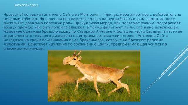 Антилопа Сайга Чрезвычайно редкая антилопа Сайга из Монголии — причудливое животное с действительно нелепым хоботом. Но нелепым она кажется только на первый взгляд, а на самом же деле выполняет довольно полезную роль. Причудливая морда, как полагают ученые, подогревает воздух прежде, чем антилопа его вдыхает, а также фильтрует пыль. Это ныне исчезающее животное однажды бродило всюду по Северной Америке и большой части Евразии, вместо ее ограниченного текущего диапазона в центральных азиатских степях. Антилопа Сайга находится на грани исчезновения из-за браконьеров, которые не брезгуют редкими животными. Действует кампания по сохранению Сайги, предпринимающая усилия по спасению популяции.
