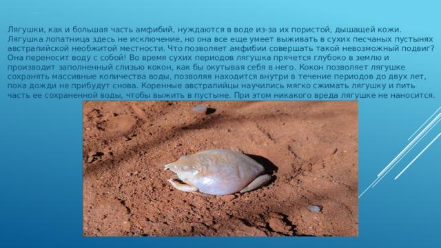 Лягушка лопатница Лягушки, как и большая часть амфибий, нуждаются в воде из-за их пористой, дышащей кожи. Лягушка лопатница здесь не исключение, но она все еще умеет выживать в сухих песчаных пустынях австралийской необжитой местности. Что позволяет амфибии совершать такой невозможный подвиг? Она переносит воду с собой! Во время сухих периодов лягушка прячется глубоко в землю и производит заполненный слизью кокон, как бы окутывая себя в него. Кокон позволяет лягушке сохранять массивные количества воды, позволяя находится внутри в течение периодов до двух лет, пока дожди не прибудут снова. Коренные австралийцы научились мягко сжимать лягушку и пить часть ее сохраненной воды, чтобы выжить в пустыне. При этом никакого вреда лягушке не наносится.