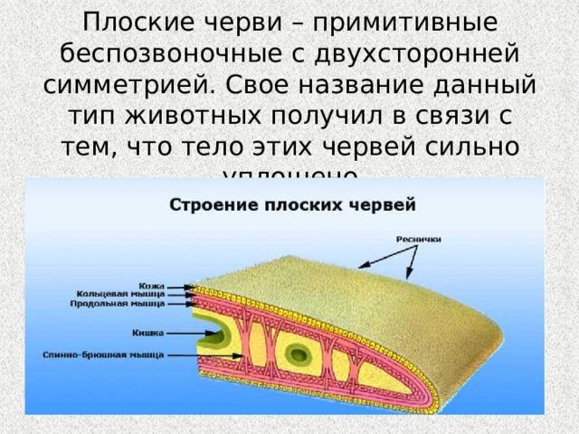 Плоские черви – примитивные беспозвоночные с двухсторонней симметрией. Свое название данный тип животных получил в связи с тем, что тело этих червей сильно уплощено