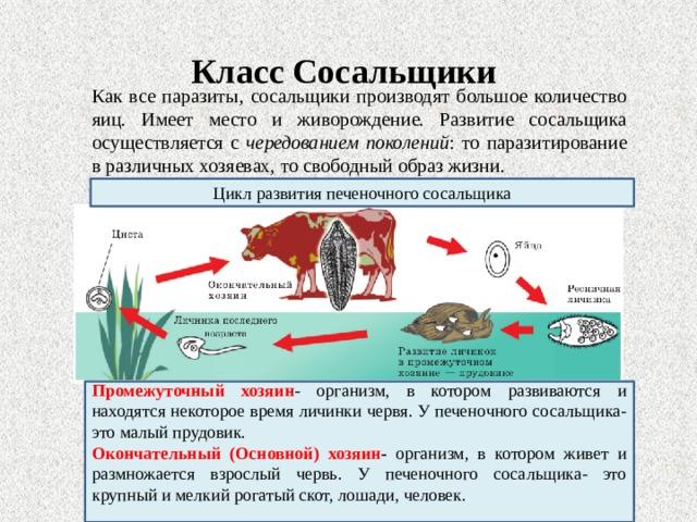 Класс Сосальщики Как все паразиты, сосальщики производят большое количество яиц. Имеет место и живорождение. Развитие сосальщика осуществляется с чередованием поколений : то паразитирование в различных хозяевах, то свободный образ жизни. Цикл развития печеночного сосальщика Промежуточный хозяин - организм, в котором развиваются и находятся некоторое время личинки червя. У печеночного сосальщика- это малый прудовик. Окончательный (Основной) хозяин -  организм, в котором живет и размножается взрослый червь. У печеночного сосальщика- это крупный и мелкий рогатый скот, лошади, человек.