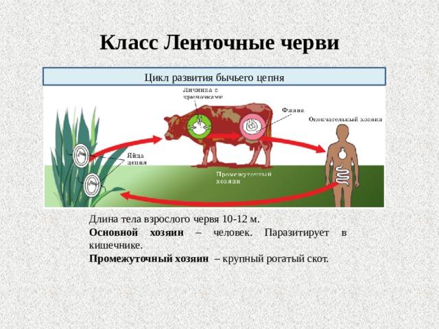 Класс Ленточные черви Цикл развития бычьего цепня Длина тела взрослого червя 10-12 м. Основной хозяин – человек. Паразитирует в кишечнике. Промежуточный хозяин – крупный рогатый  скот.
