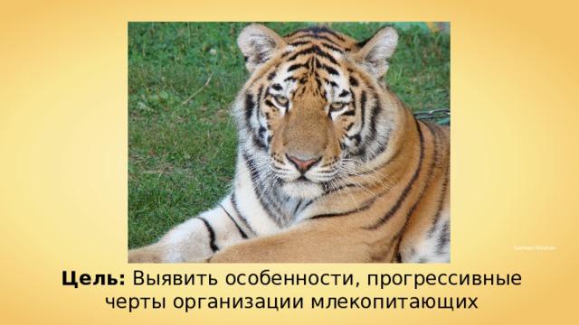 4028mdk09 Doruk Salancı Hok German Stimban Цель: Выявить особенности, прогрессивные черты организации млекопитающих