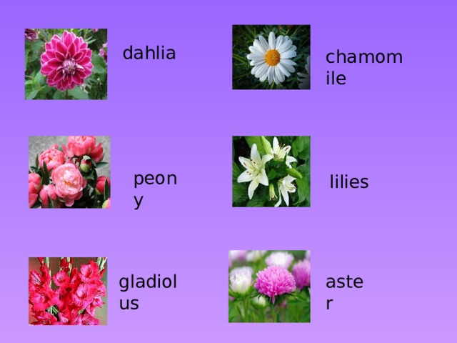 dahlia chamomile peony lilies gladiolus aster