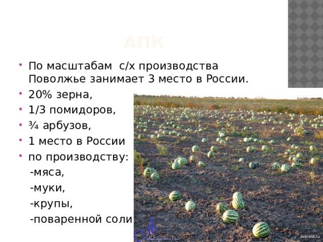 АПК По масштабам с/х производства Поволжье занимает 3 место в России. 20% зерна, 1/3 помидоров, ¾ арбузов, 1 место в России по производству:  -мяса,  -муки,  -крупы,  -поваренной соли.