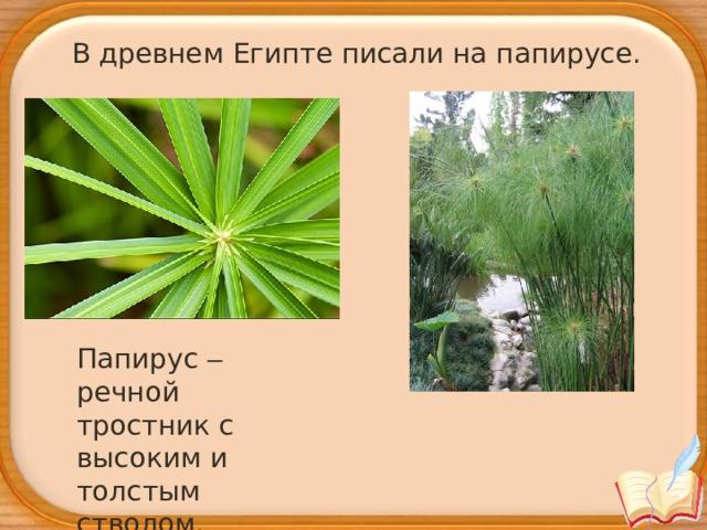 В древнем Египте писали на папирусе. Папирус – речной тростник с высоким и толстым стволом.